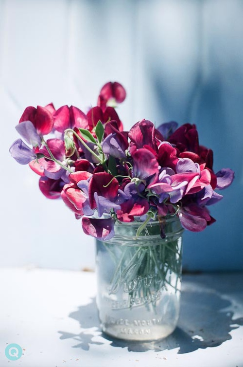Sweet-Pea-Blossoms