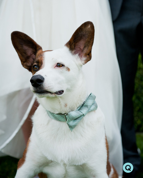 QWeddings dog ringbearer bowtie Lavender and blue dilly dilly